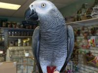 2years old captive Bred African grey parrot. Trained to