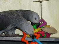 Sweetest baby African Grey Parrot 6 months old named