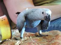 I have one african grey congo chick that hatched on