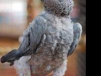 African Grey - Bam Bam - Large - Adult - Male - Bird