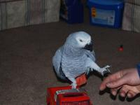 Male African Grey Parrot available for any new home, he