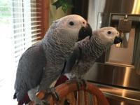 I have 2 Very Sweet Congo babies available. My babies