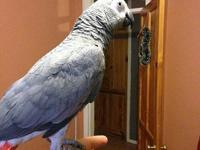 Gorgeous Congo African Grey Parrot, 2 years old, steps