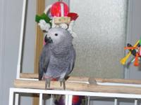 4 year old African Grey Congo. Tame, Talks alot. We do