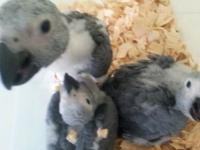 Babys african grey congos in the amazon pet store 2936