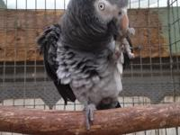 Right here at Brenda's Birds we have African Grey