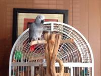 **** ~ * ~ ** African Grey Tame Female * ~ * ~ **. I