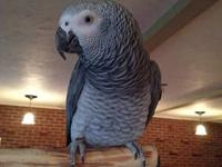 I have a tame,4 yr old female African Grey that