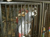Very Smart and Talkative Congo African Grey Parrot. He