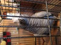 Healthy Talking African Grey Parrot, 5 yrs old, female.