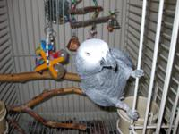 Koko is a 14 year-old African Grey parrot. He loves to