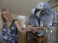 African Grey Parrot For Adoption  i have an african