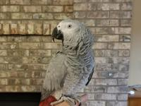 4year old African grey parrot named Lloyd, reluctant