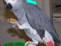 Beautiful and talking African Grey parrots for sale now