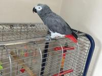 VERY TALKATIVE PARROT AFRICAN GREY ONLY 3YRS OLD HAS