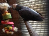 I am selling my 7 year old African Grey Parrot. He is