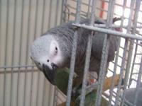 Louie. African Grey Parrot. Needs loving home with time