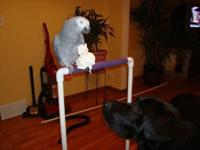 Stunning African grey parrot, 14 years old. Has a huge
