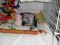 We have three (3) Congo African Grey babies available.