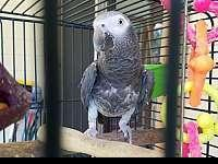 Healthy pair of male and female African Grey parrots