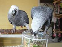 Hand-reared African Grey Parrots available now. All my