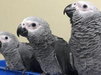we have Bonded pair of African grey . They are a very