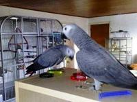 Pair of African Grey  Parrots for sale.