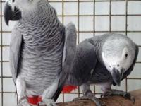 Talking African Grey Parrots, They are both male and