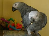 well trained talking Grey birds available for loving