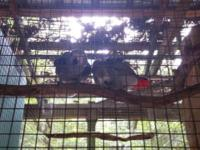 Breeder retiring African Greys: Proven pairs: I have
