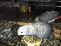 Hand reared African Greys I have males and females for