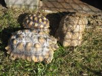 Rescue has 3 African Spur-thigh Tortoises, also known