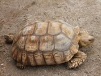African spurred tortoise needs new home -    The