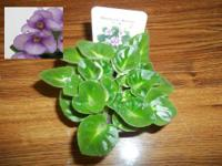African Violet Ma's Ching Dynasty - 2 Leaves - TB17