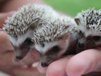 Hello, I have 2 boy Hedgehogs that are now ready for