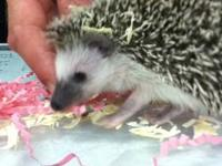 I breed a few different colors of hedgehogs very small