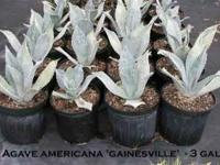 Premium quality Agaves from Florida's most experienced