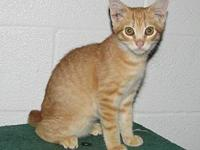 Ahab (male kitten)'s story This is Ahab a red tabby