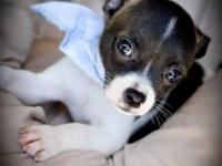 "Chihuahua puppy ""Barney"" available for adoption at"