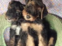 Nonshed Airedale/Airedoodle Gorgeous wavy coated