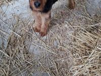 AIREDALE. Puppies Male shots and dewormed Socialized