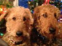Beautiful Airedale Terrier puppies, M & F AKC