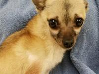 . Meet Aries! Aries is a male, 12 year old, Chihuahua.