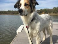 Aja- 2 year old spayed female Aussie mix   Aja is a