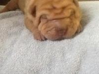 Akc shar pei puppy Raised in home with young children