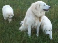 Akbash/Great Pyrenees cross young puppies. Both breeds