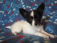 This adorable tri papillon puppy is Scooter, he is so
