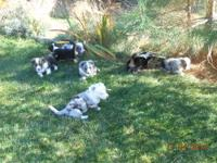 We have a CWC litter of 7- 4 puppies are still