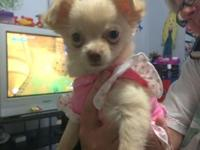 Bella is an AKC registered long coat TINY chihuahua
