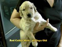 Our family took in a young male Golden Retriever that